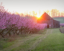 Cherry Trees at Swann Farms